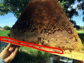 Propolis in a beehive frame.
